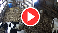 Stensland Dairy Calving Barn Cam from Onsight 24/7